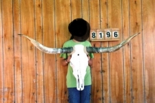Tête de vache Texane taille XXL   de plus de 140 cm d'Envergure